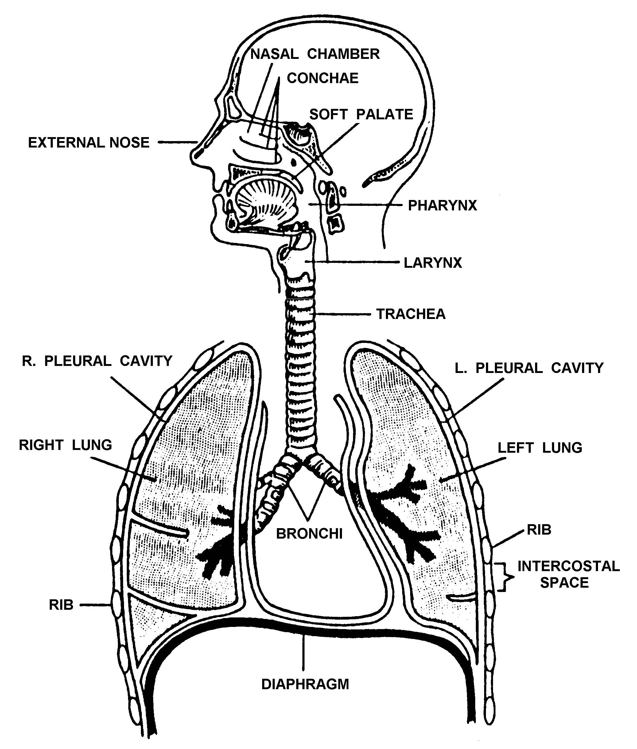 1-5. THE RESPIRATORY SYSTEM