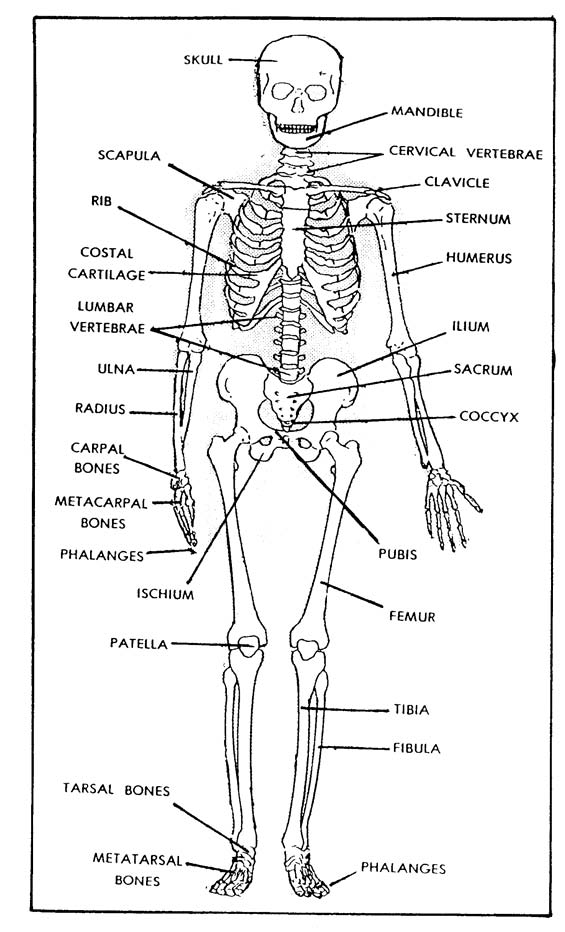 image relating to Printable Skeleton Parts referred to as 1-1. THE SKELETAL Process