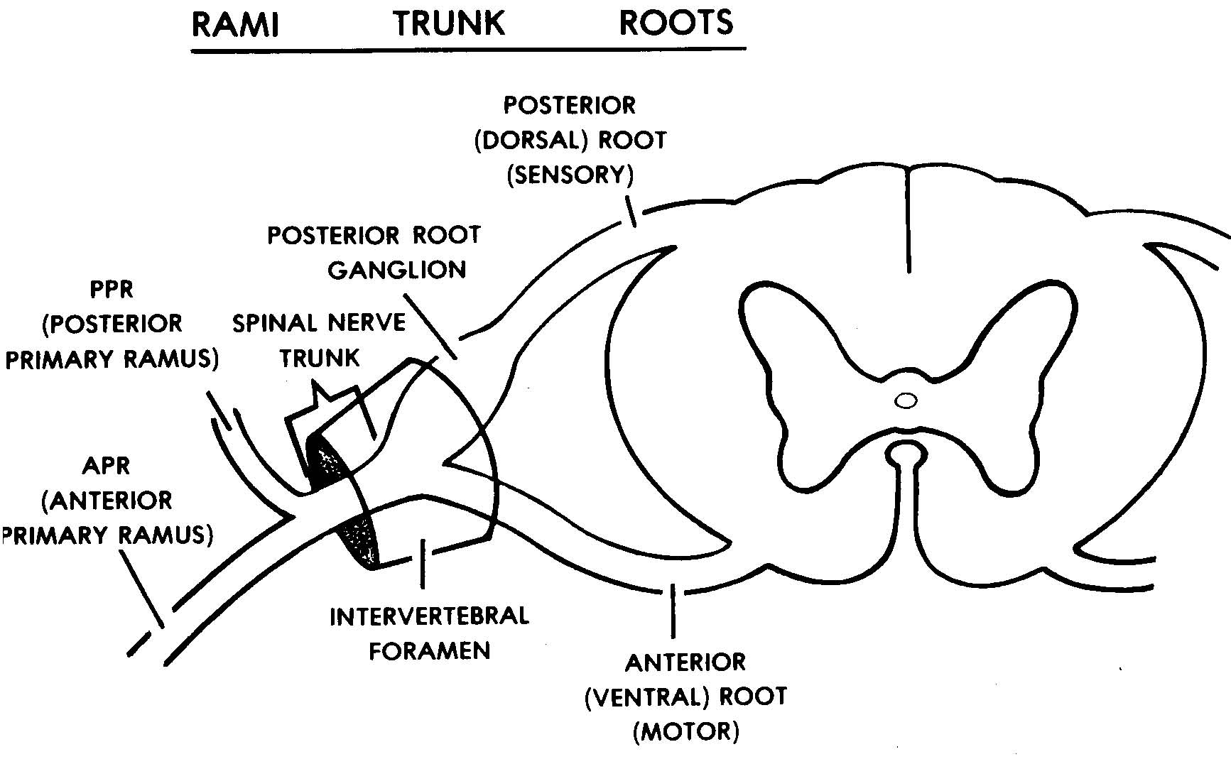2-7. THE SPINAL NERVES