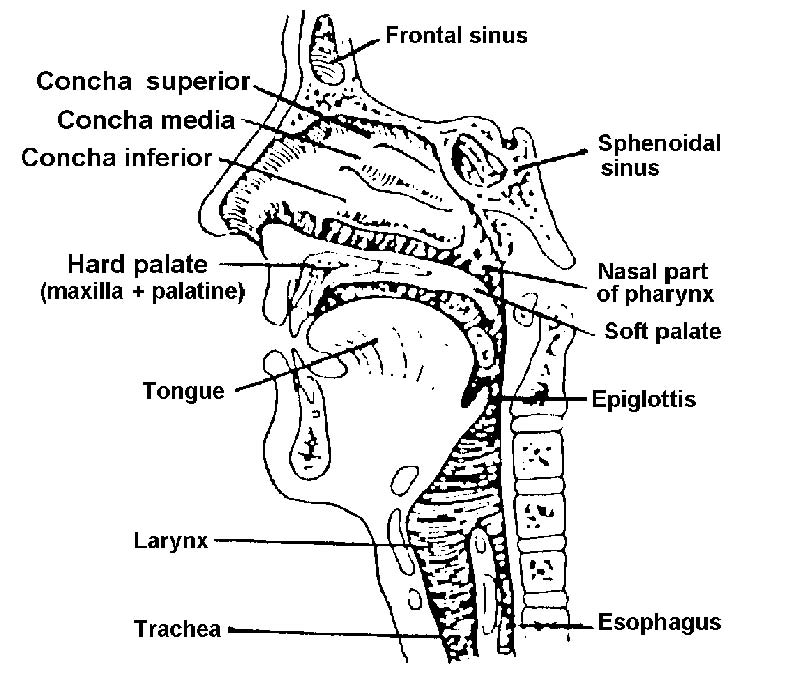 ear nose and throat anatomy diagram