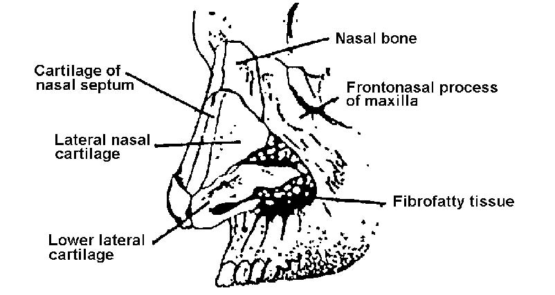 1-28. ANATOMY AND PHYSIOLOGY OF THE NOSE