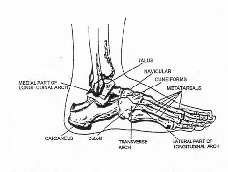 The Musculoskeletal System I